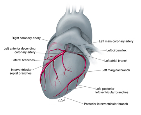 Normal coronary artery anatomy