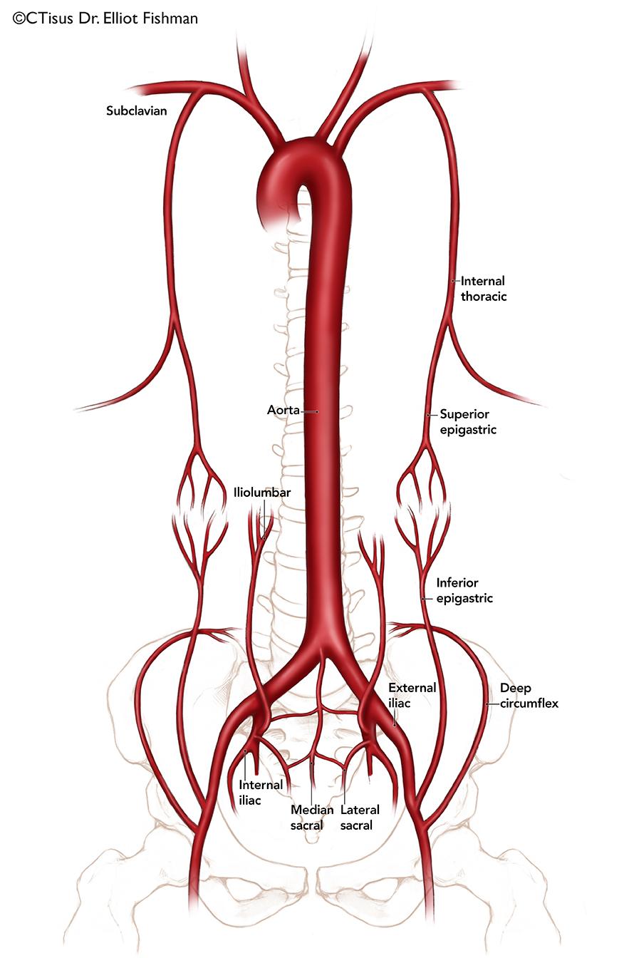 Visceral Artery Anatomy Picsbud